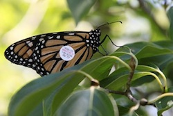 Catch the Monarch butterflies before they head south