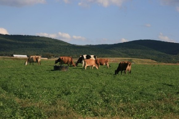 Cows grazing at Trickling Springs Creamery